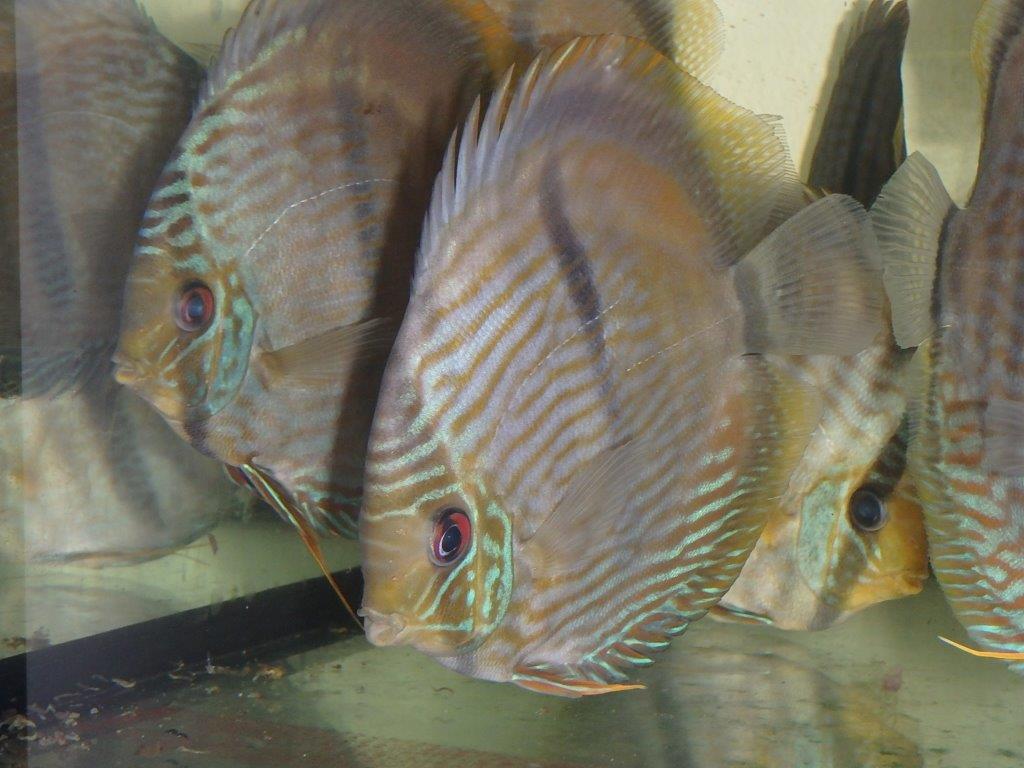 Προ – παραγγελία ψάρια γλυκού νερού  - Τροπικά Ψάρια και